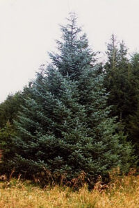 Douglas Fir Tree